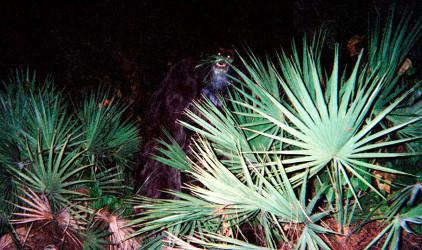 Photo Skunk Ape