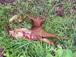 Chèvre victime de la créature