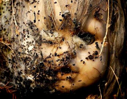 Insectes sur Tête de Poupée