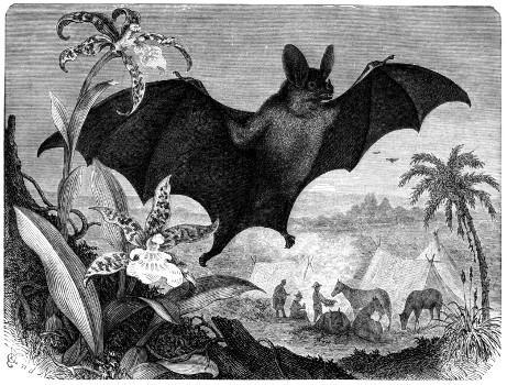 Chauve-Souris Vampire