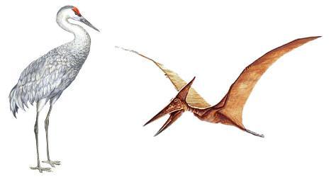Grue du Canada et Ptérodactyle